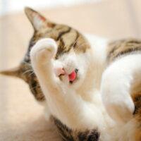 猫の毛玉対策!猫が吐く理由や危険性・ケアの方法について紹介!