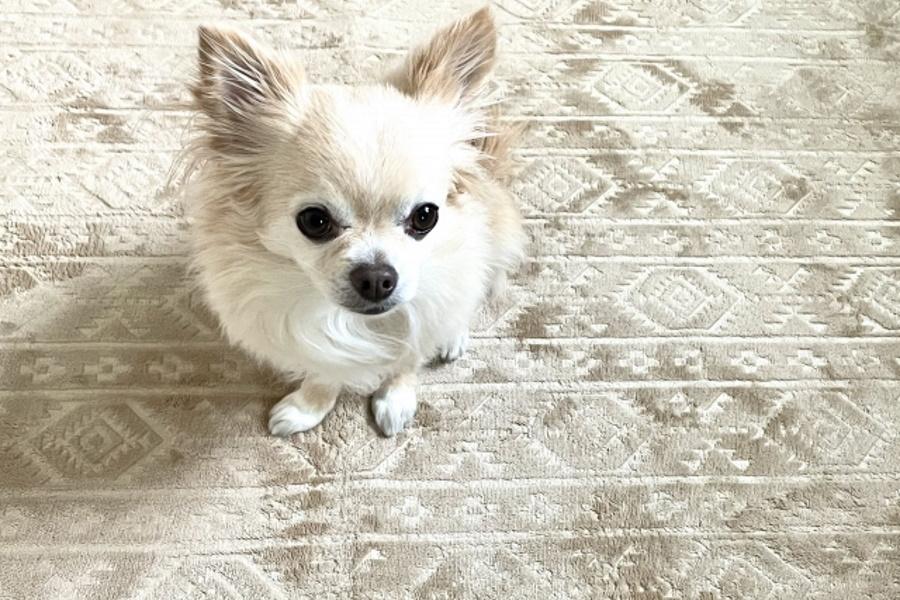 犬のしつけにおやつを使う理由