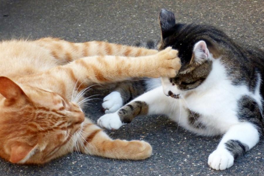猫にかさぶたができている