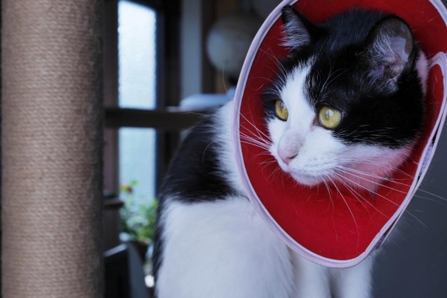 避妊手術後の猫