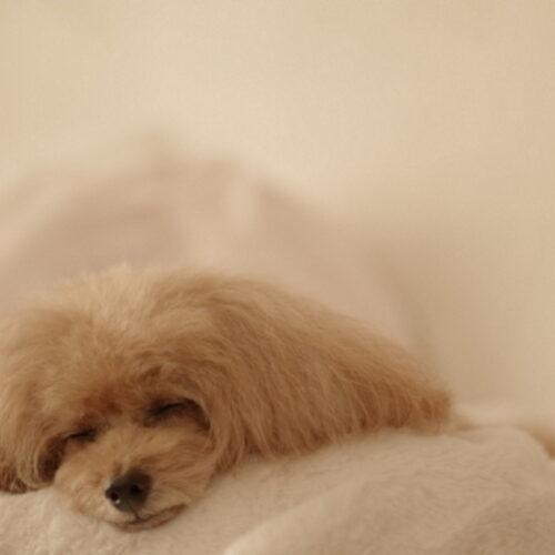 犬の貧血は食事を変えるべき?鉄分の過剰摂取や貧血対策について!
