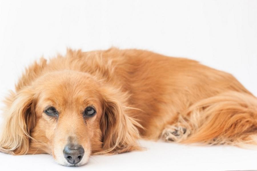 犬の重度の貧血