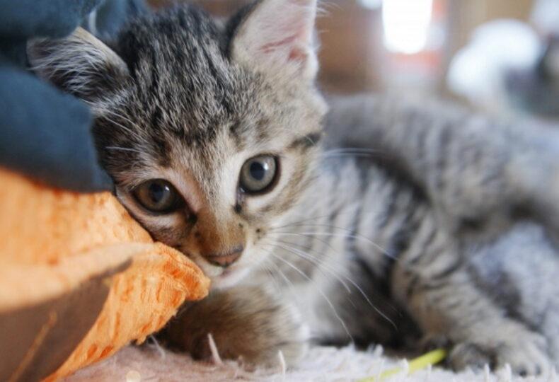 子猫のエサの正しい与えた方!適切な量やエサを変える時期を紹介!