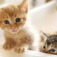 猫の離乳食へのタイミングとは?ミルクからカリカリまでの切り替え方