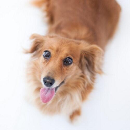 犬が食欲旺盛なのは当たり前?食べ過ぎによる危険性や対策を紹介!