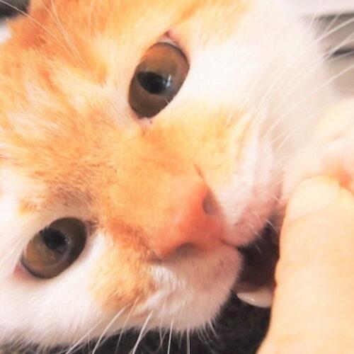 猫の歯磨きのやり方を解説!手順やコツ・歯磨きグッズを紹介!