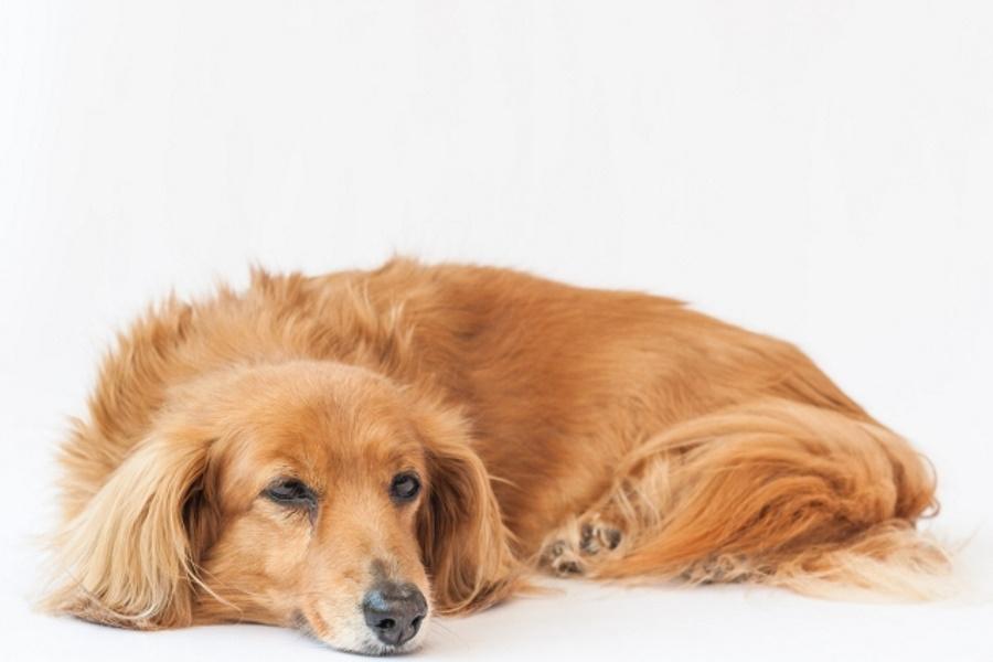 犬の下痢が長引くのは胃腸炎のせい?