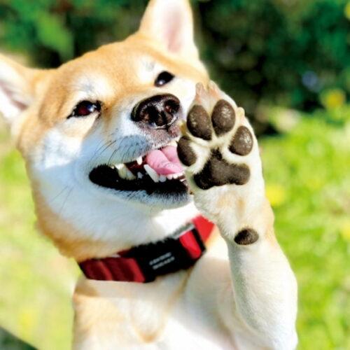 犬の肉球ケアとは?肉球ケアをする理由・やり方について解説!