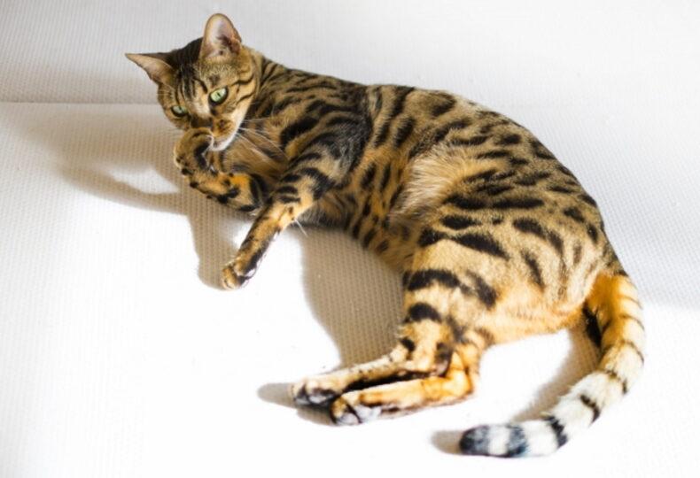 猫の臭い対策!猫の臭いの原因・気になるトイレの臭い対策するには