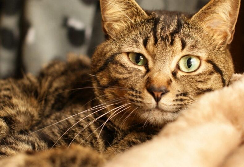 猫は結石になりやすい?生活習慣を改善して猫の尿路結石予防!