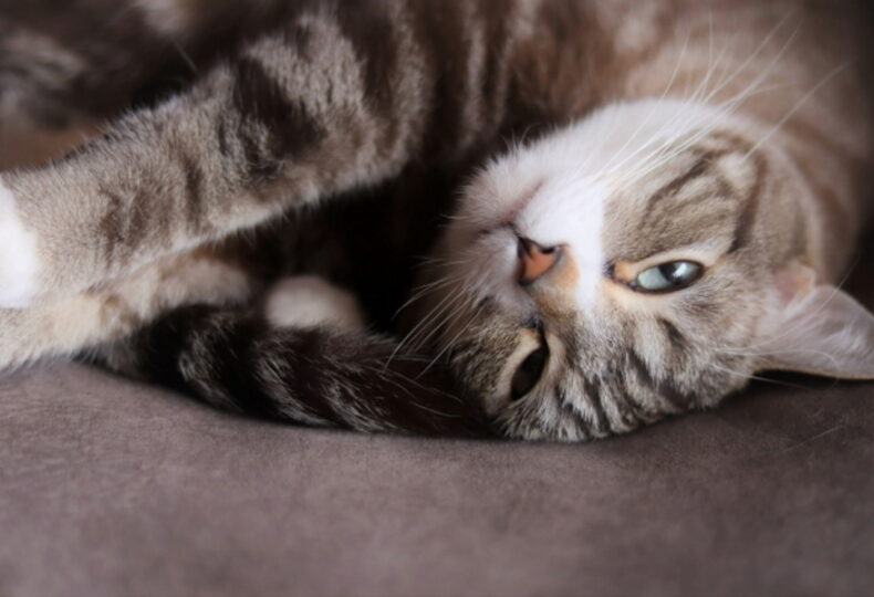 猫が妊娠中にとる行動とは?猫が妊娠中にできること・食事の与え方