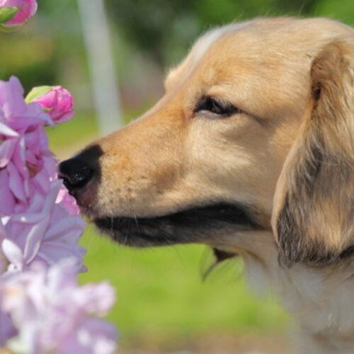犬の花粉症とは?犬の花粉症の原因や症状、対策について紹介!