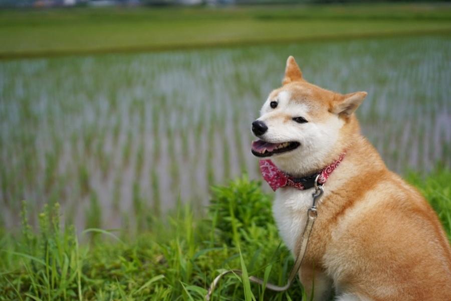 犬の花粉症の症状
