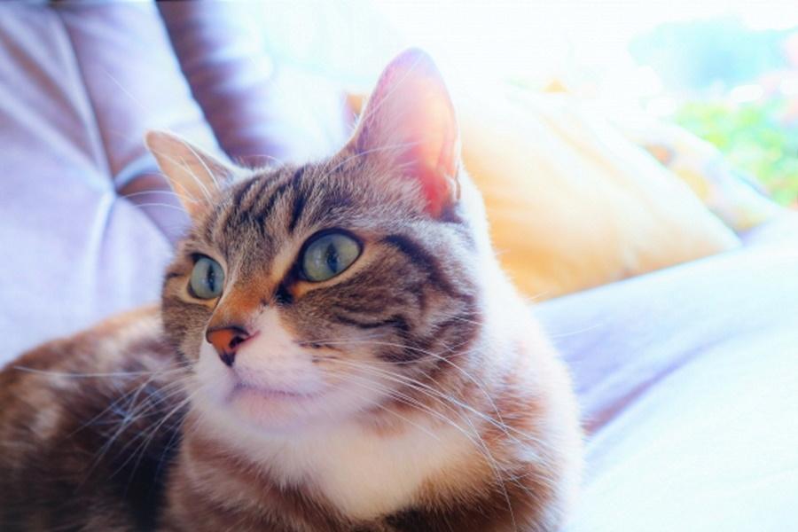 猫が妊娠中に避妊できる?