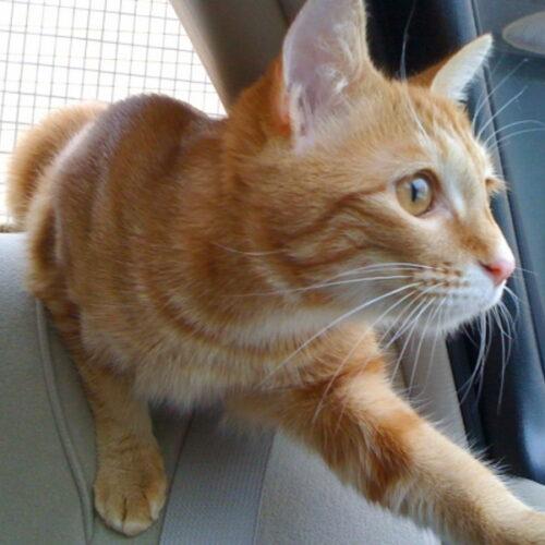 猫の車酔いの対処法とは?猫を落ち着かせる方法・車酔い対策