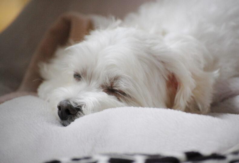 犬が夜泣きする理由とは?子犬~老犬の夜泣きの原因・対処法を紹介!