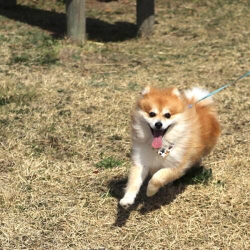 犬の散歩のしつけ方!散歩中のトラブル・対処法について紹介!