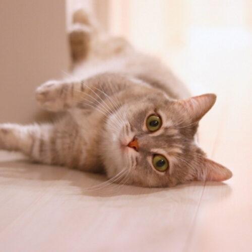 猫が邪魔する理由とは?パソコン作業や食事中に寄ってくる猫対策
