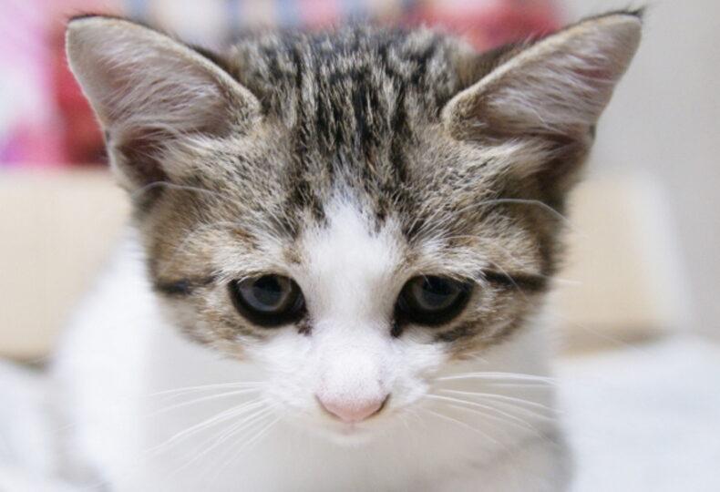 猫の耳掃除は必要?耳掃除のやり方や便利な道具を紹介します!