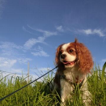 老犬に散歩は必要?散歩の方法・嫌がる時や歩かない時の対処法
